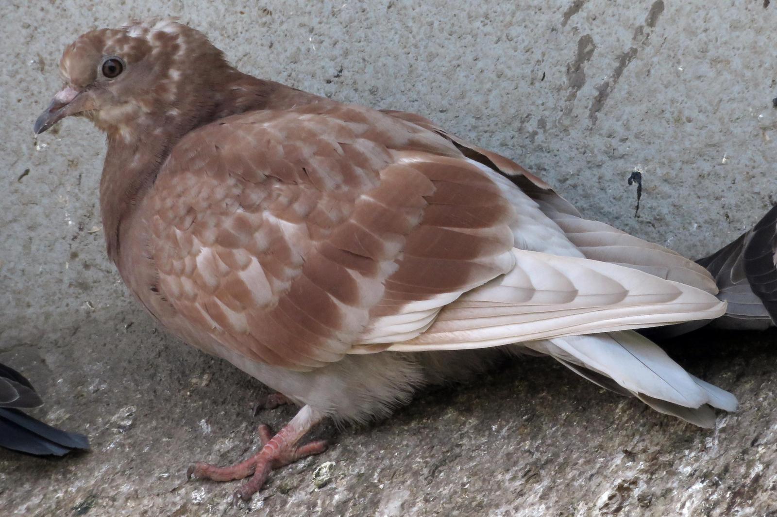Rock Pigeon Photo by Bob Neugebauer
