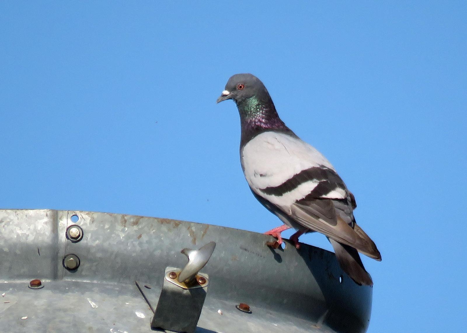 Rock Pigeon Photo by Kelly Preheim