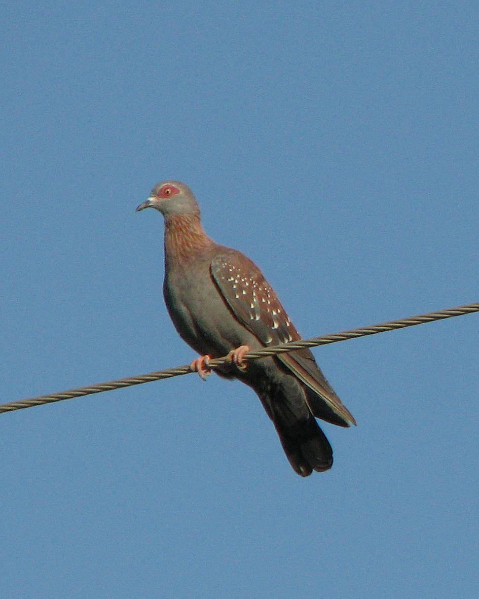 Speckled Pigeon Photo by Henk Baptist