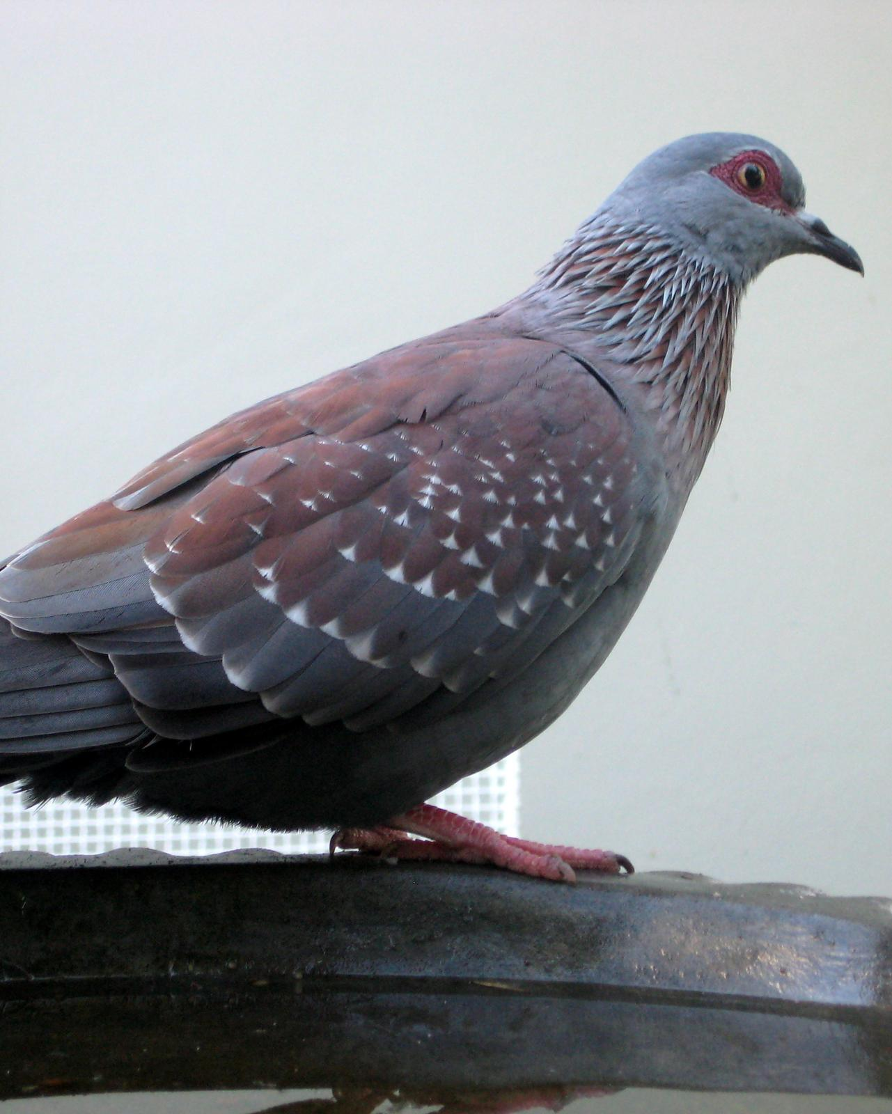 Speckled Pigeon Photo by Peter Lowe