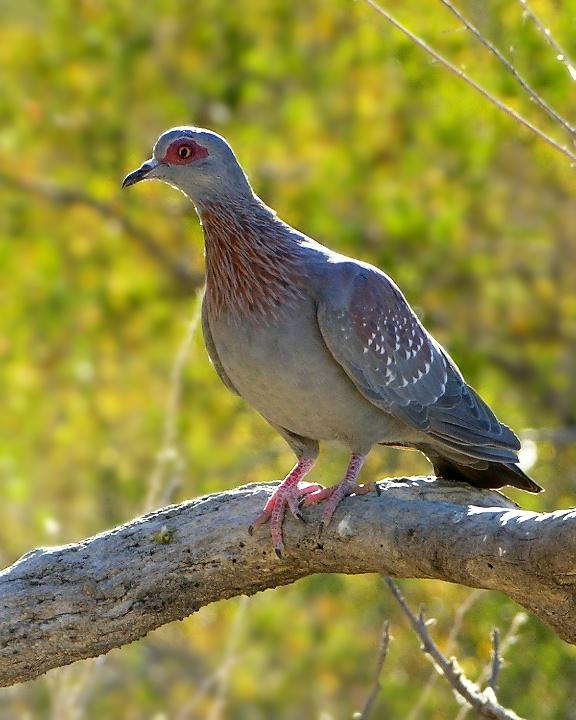 Speckled Pigeon Photo by Denis Rivard