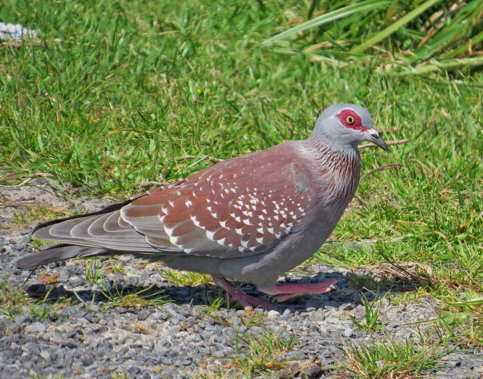 Speckled Pigeon Photo by Peter Boesman