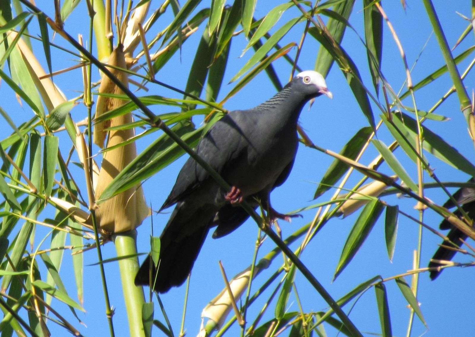 White-crowned Pigeon Photo by Jeff Harding