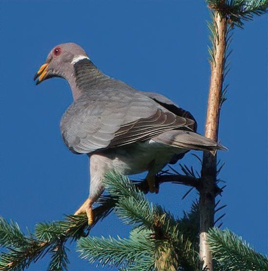 Band-tailed Pigeon Photo by Brian Avent