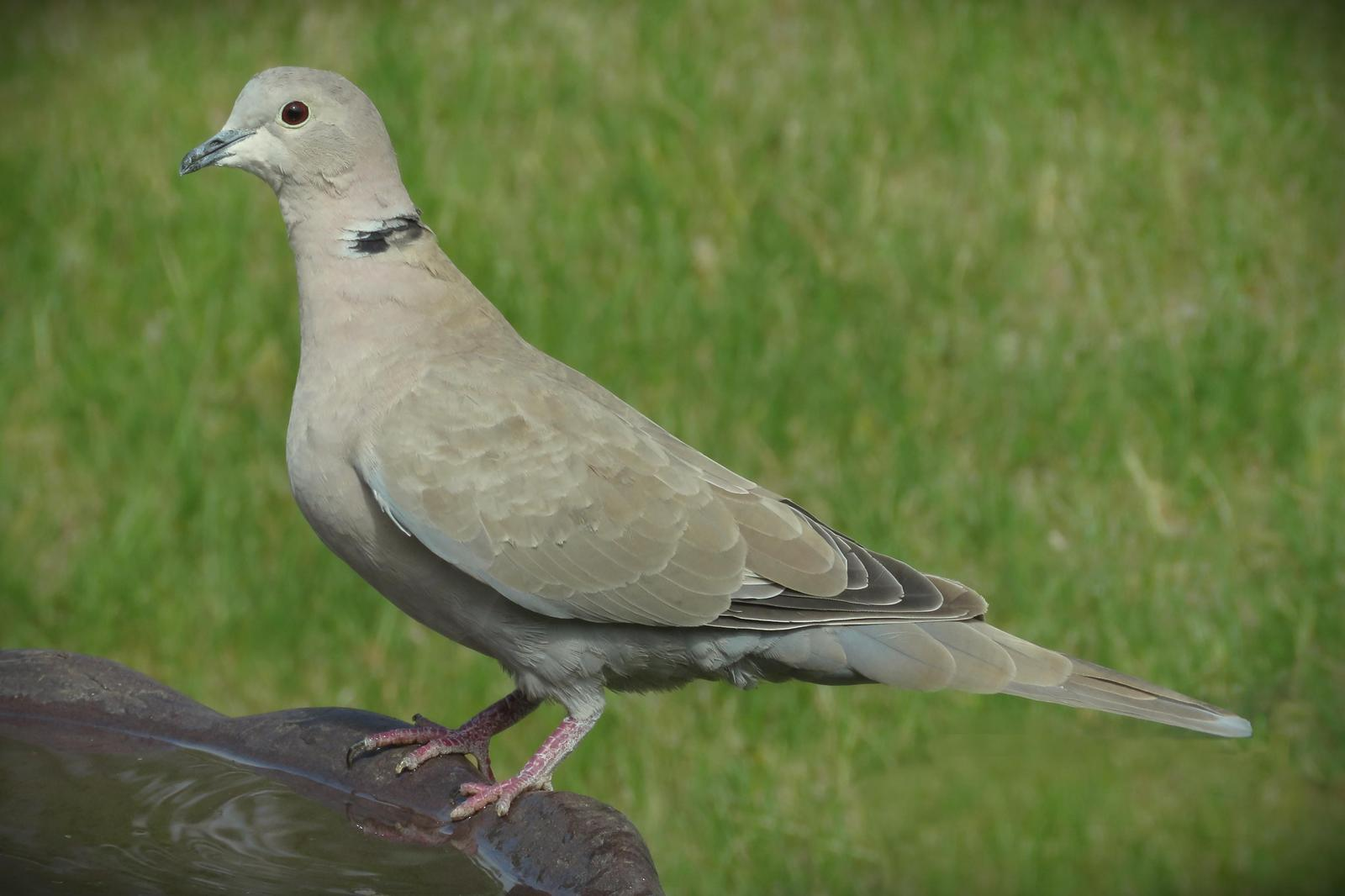 Eurasian Collared-Dove Photo by Bob Neugebauer