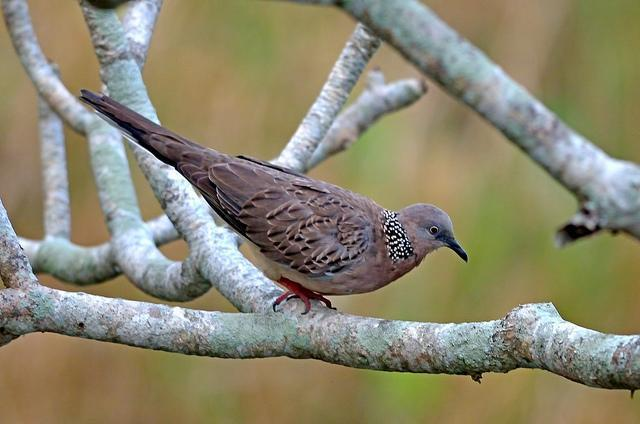 Spotted Dove Photo by Mihir Joshi