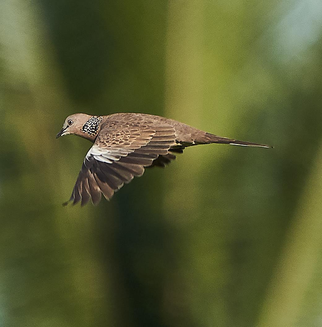 Spotted Dove Photo by Steven Cheong