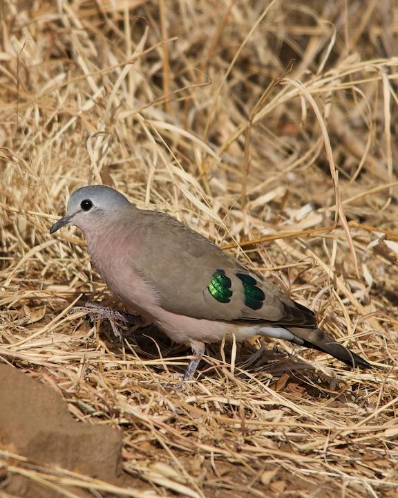 Emerald-spotted Wood-Dove Photo by Denis Rivard