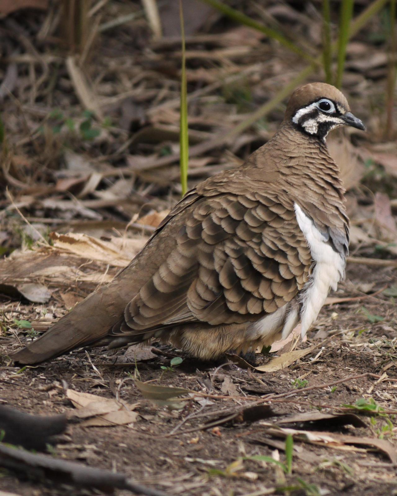 Squatter Pigeon Photo by Peter Lowe