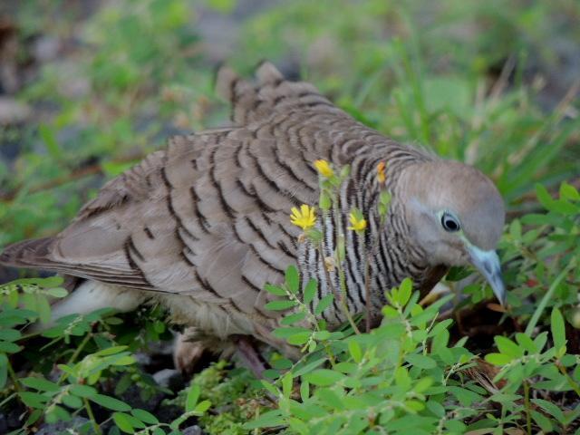 Zebra Dove Photo by Tony Heindel