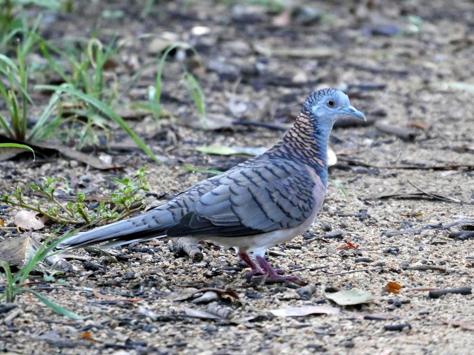 Bar-shouldered Dove Photo by Peter Lowe