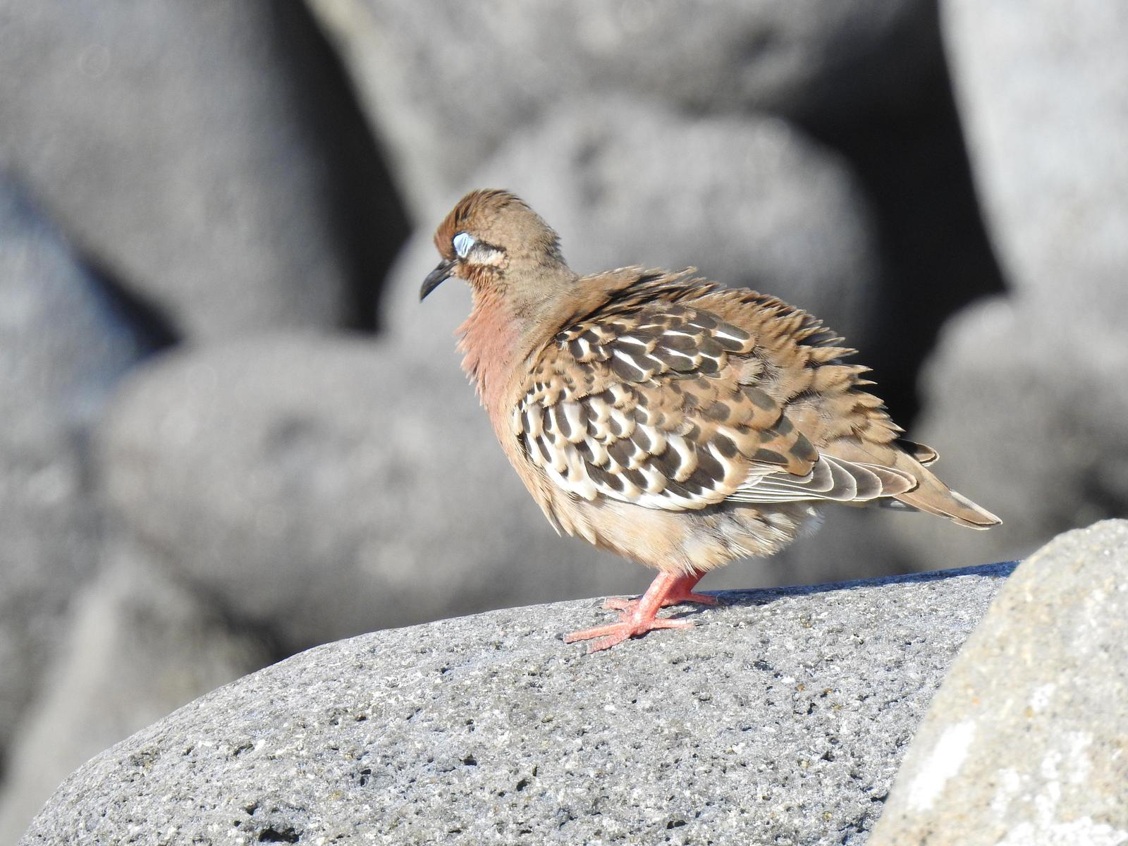 Galapagos Dove Photo by Nancy  O'Hara