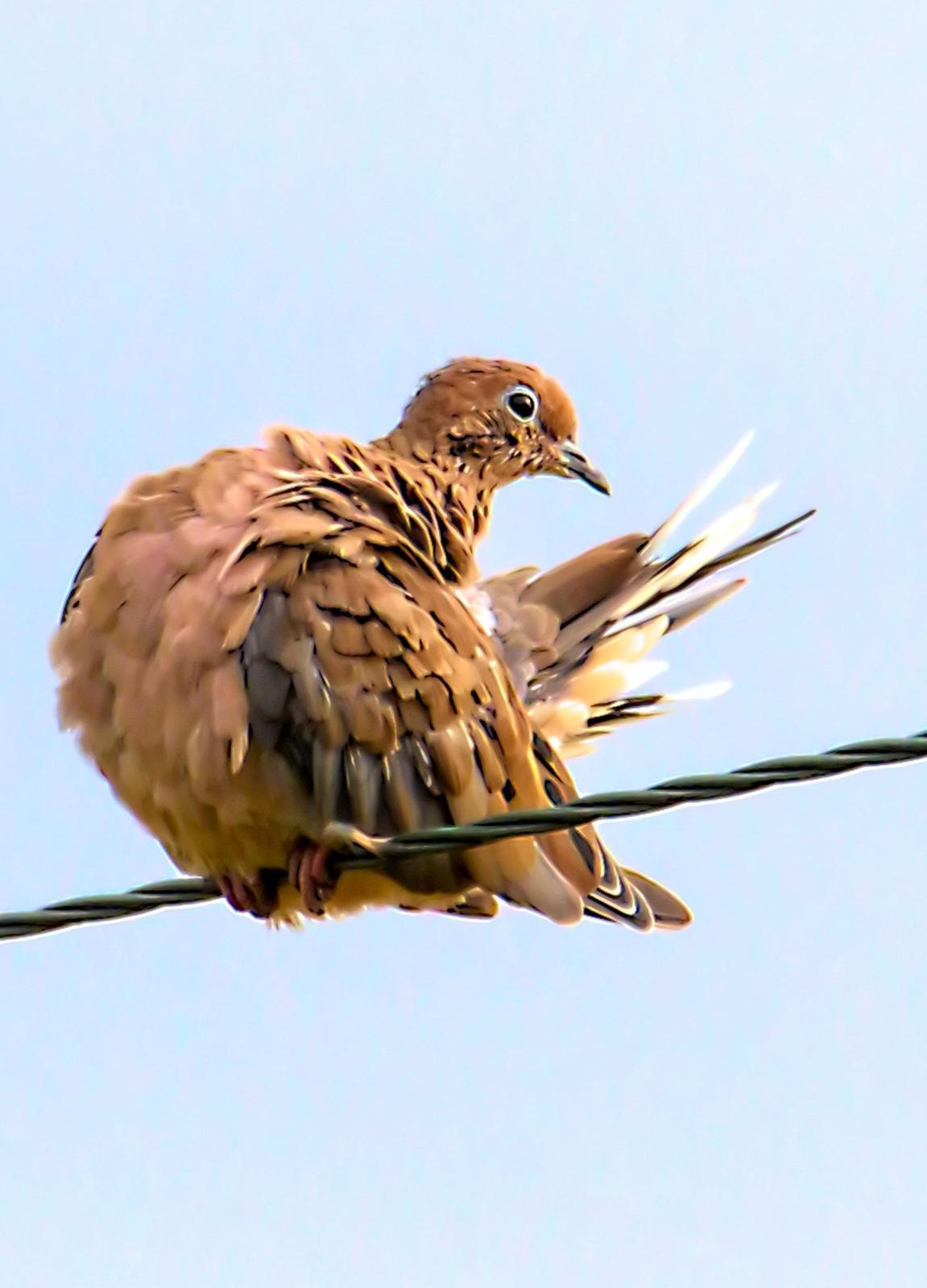 Mourning Dove Photo by Dan Tallman