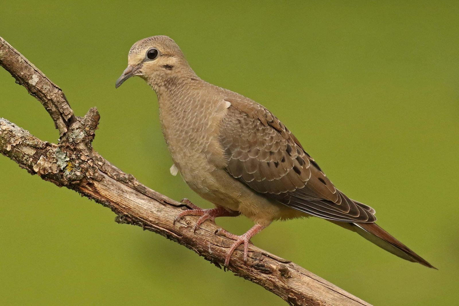 Mourning Dove Photo by Kristy Baker