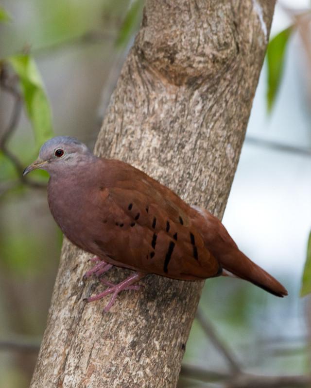 Ruddy Ground Dove Photo by Natalie Raeber