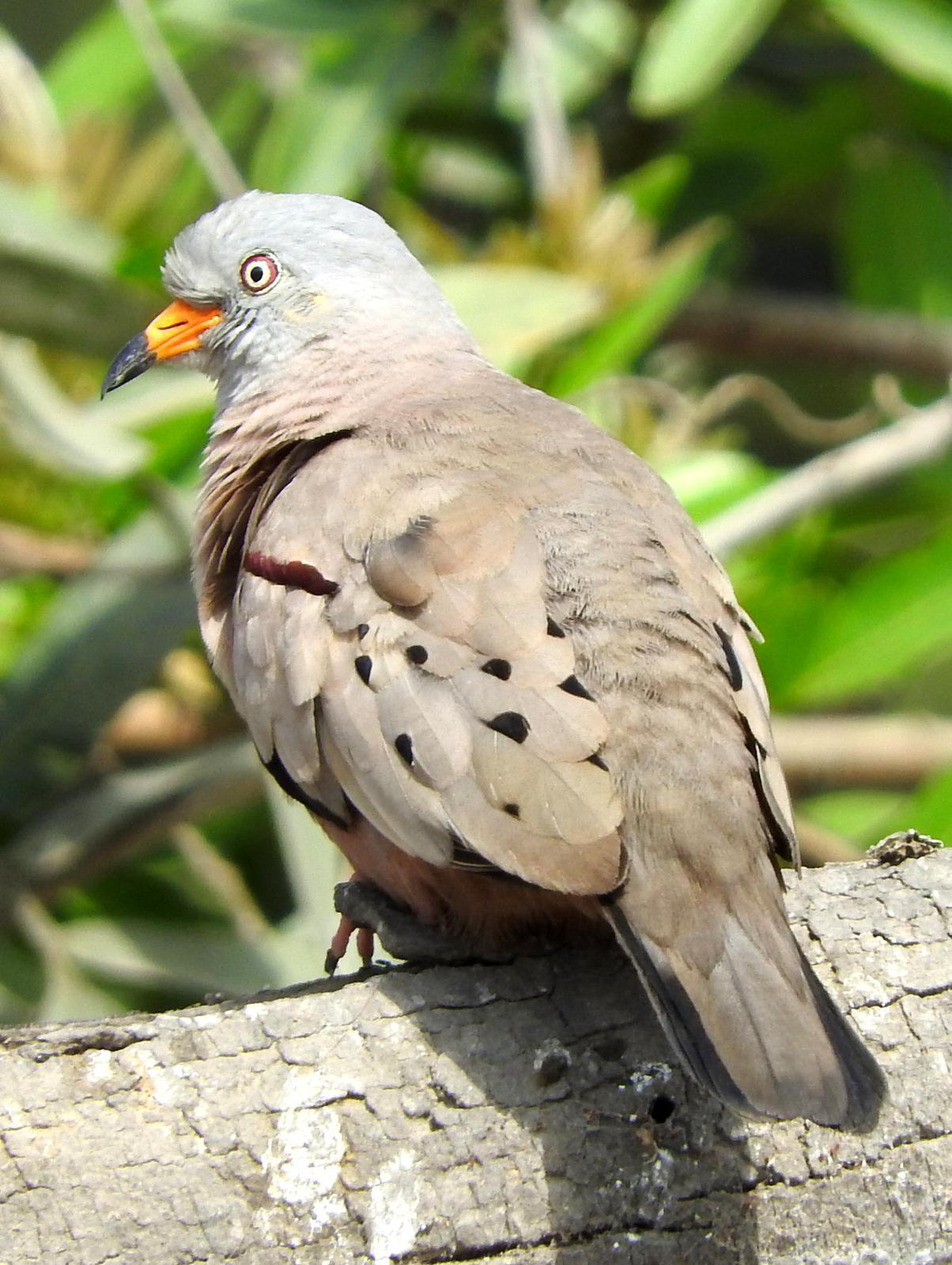 Croaking Ground-Dove Photo by Todd A. Watkins