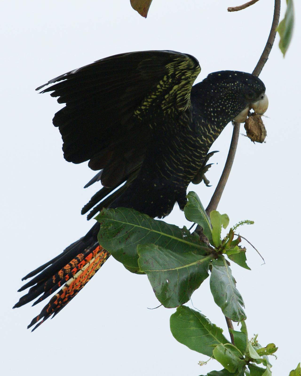 Red-tailed Black-Cockatoo Photo by Steve Percival