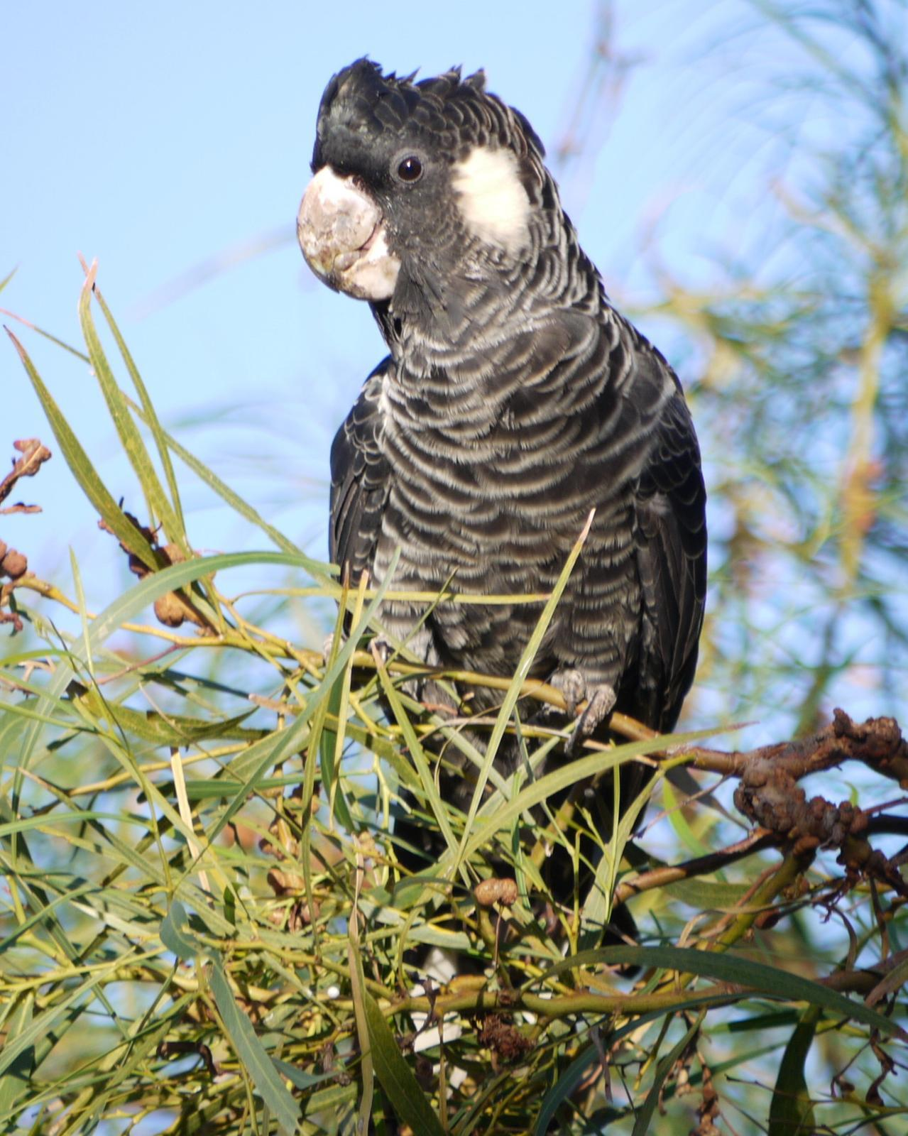 Carnaby's Black-Cockatoo Photo by Peter Lowe