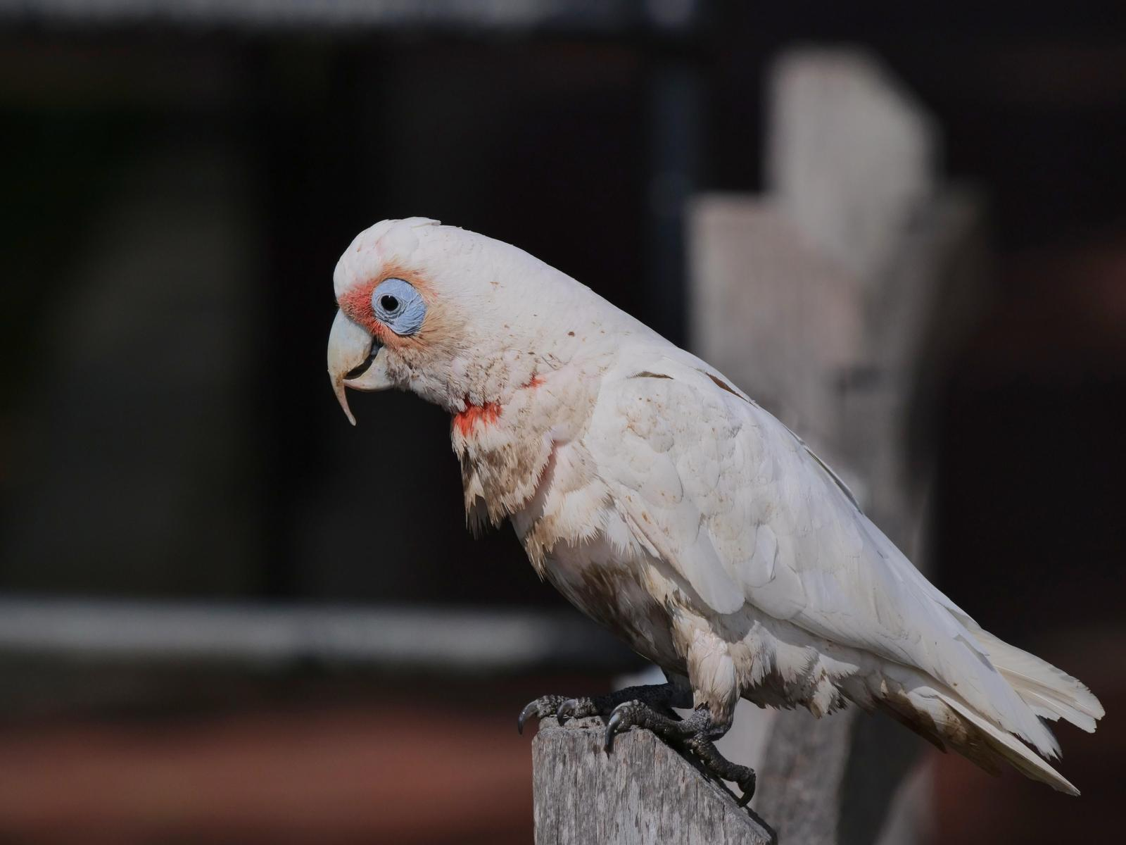 Long-billed Corella Photo by Peter Lowe