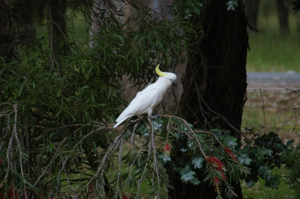 Sulphur-crested Cockatoo Photo by Richard Lund