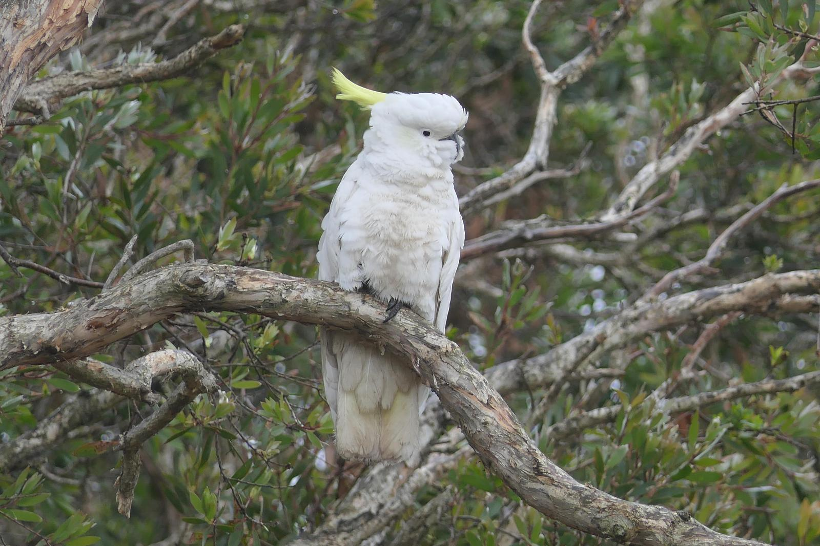 Sulphur-crested Cockatoo Photo by Randy Siebert