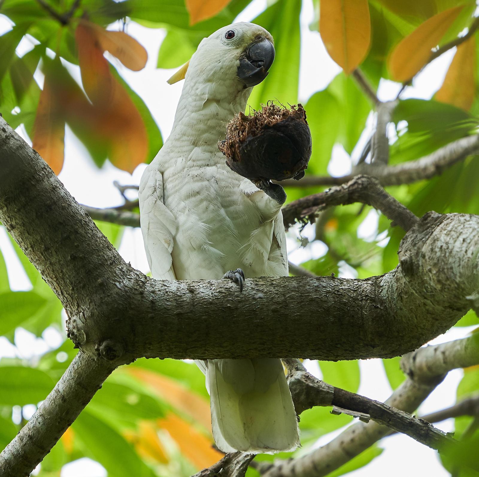 Sulphur-crested Cockatoo Photo by Steven Cheong