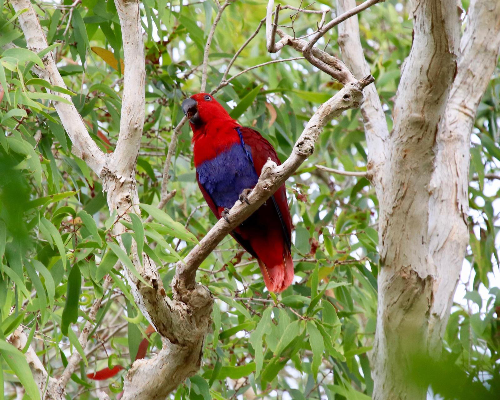 Eclectus Parrot Photo by Daniel Sloan
