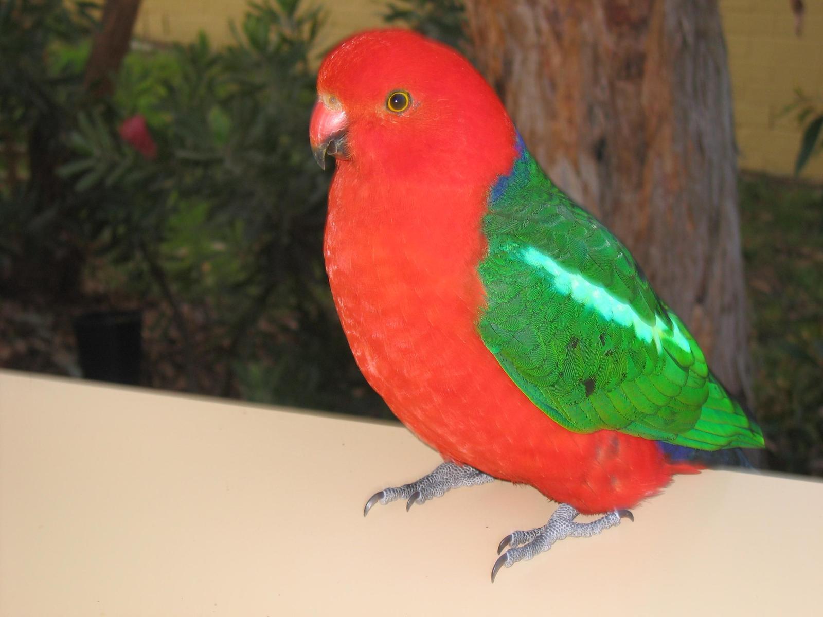 Australian King-Parrot Photo by Daliel Leite