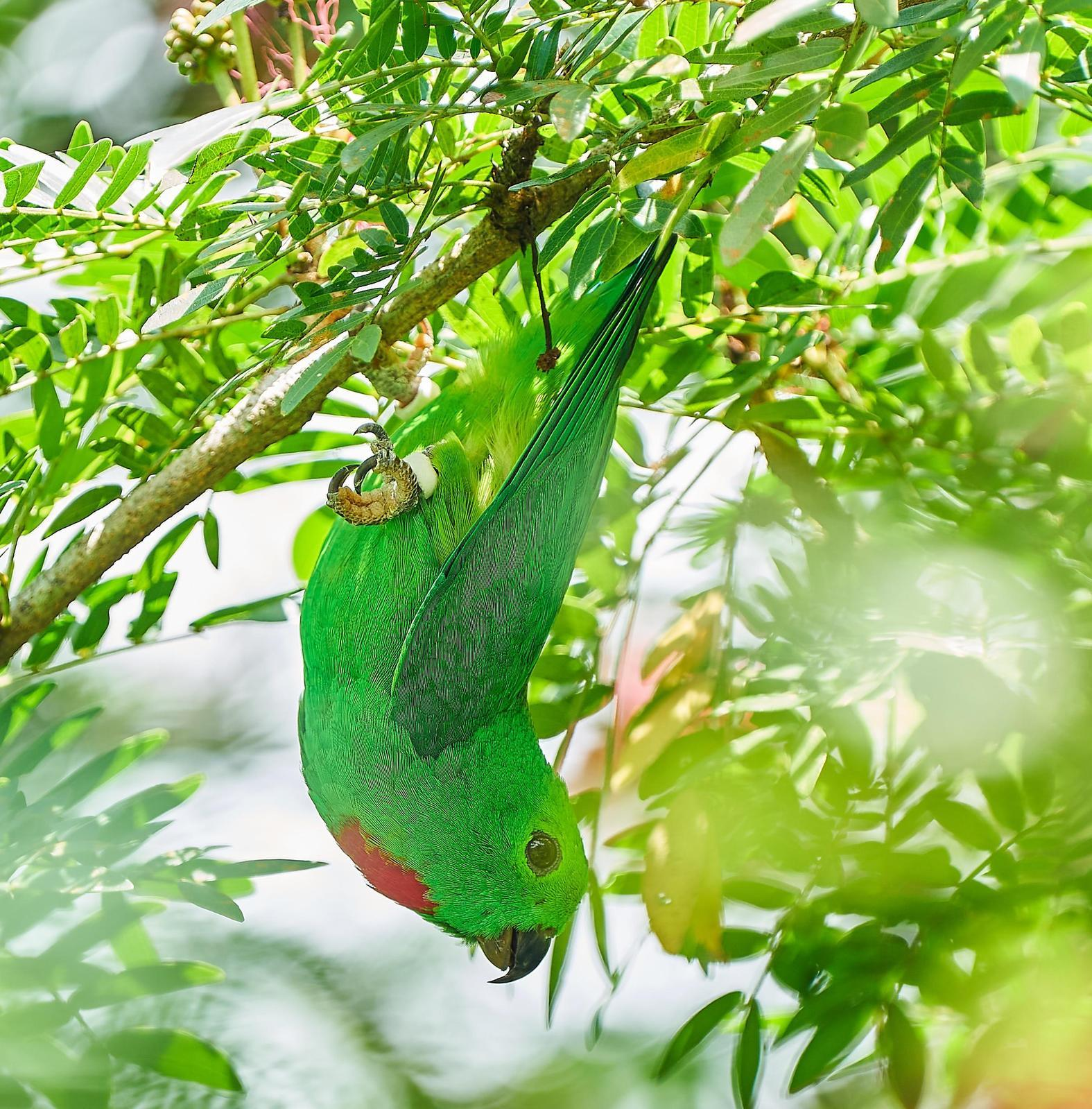 Blue-crowned Hanging-Parrot Photo by Steven Cheong