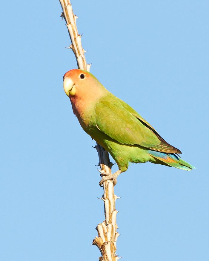Rosy-faced Lovebird Photo by Chris Fagyal