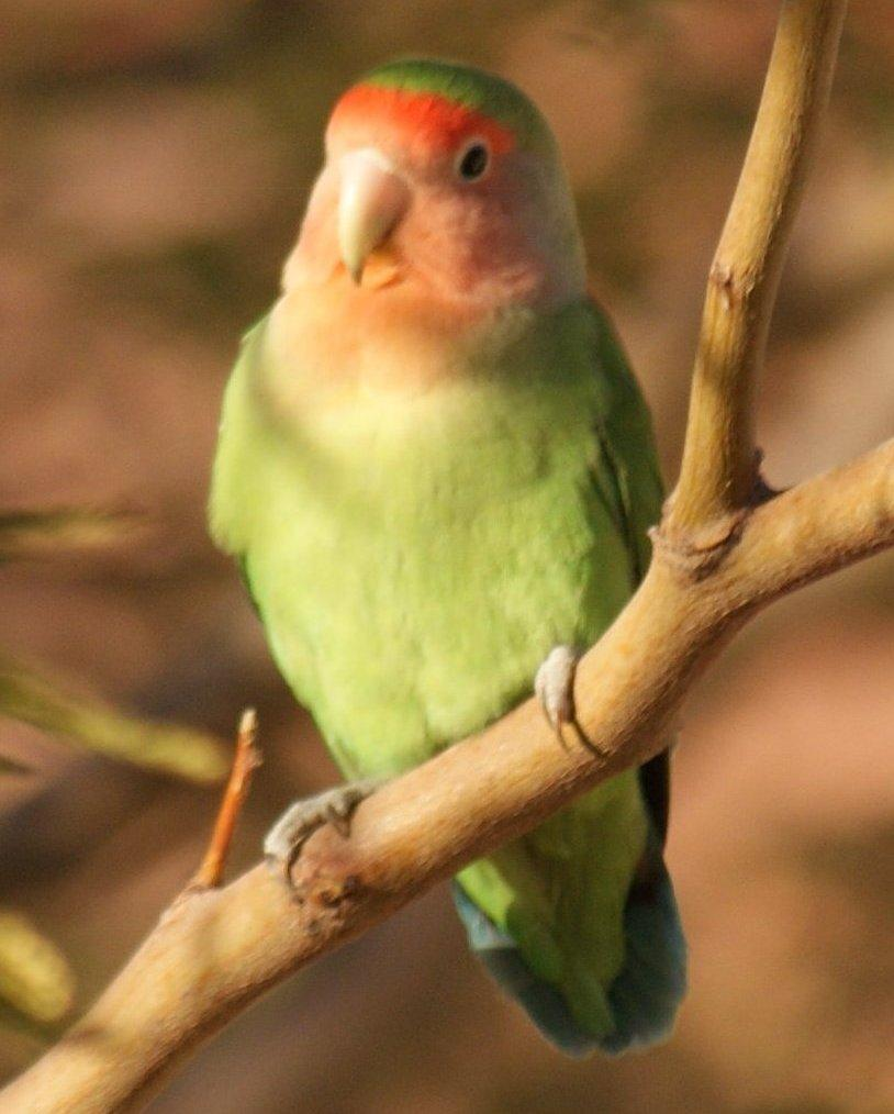 Rosy-faced Lovebird Photo by Robin Oxley