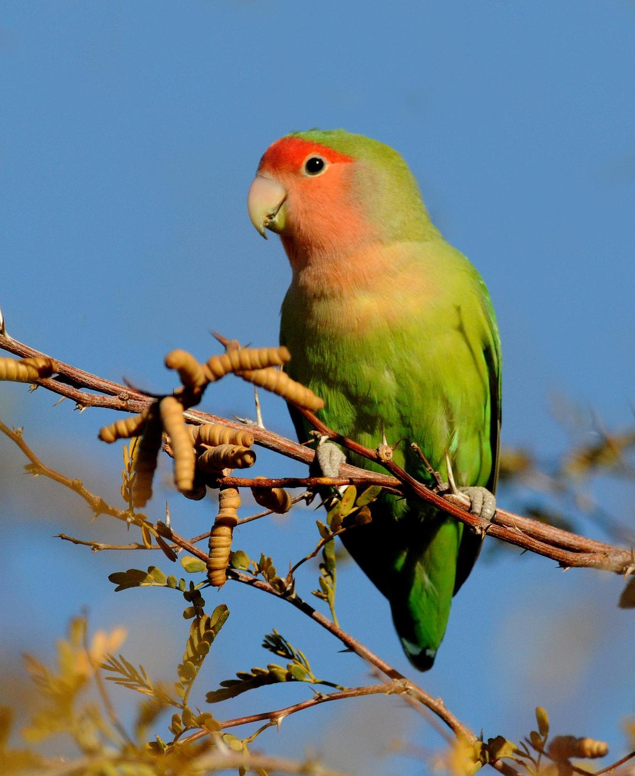 Rosy-faced Lovebird Photo by Steven Mlodinow