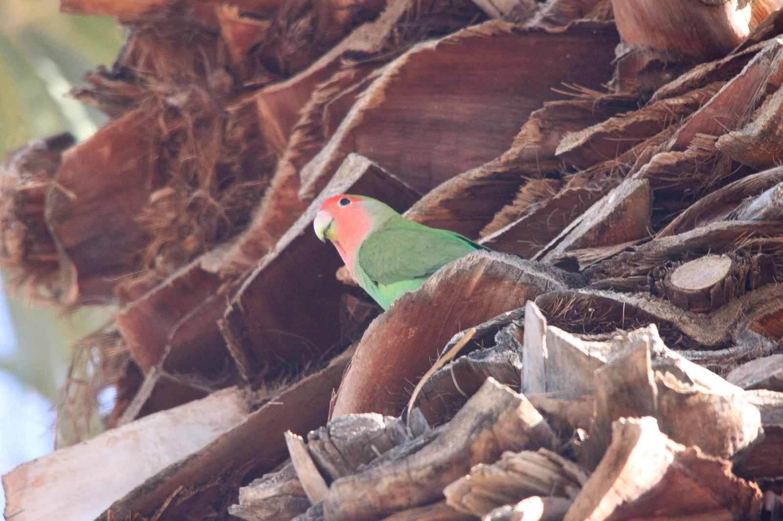 Rosy-faced Lovebird Photo by Tom Ford-Hutchinson