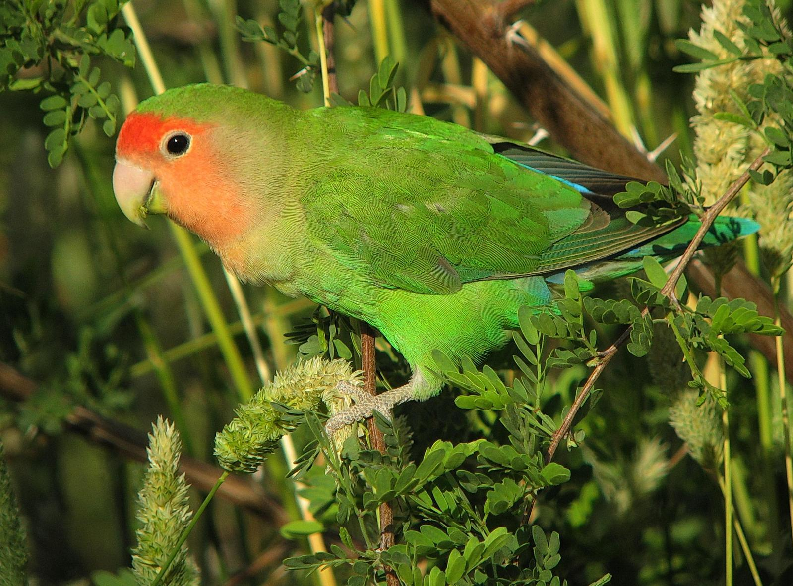 Rosy-faced Lovebird Photo by Michael Moore