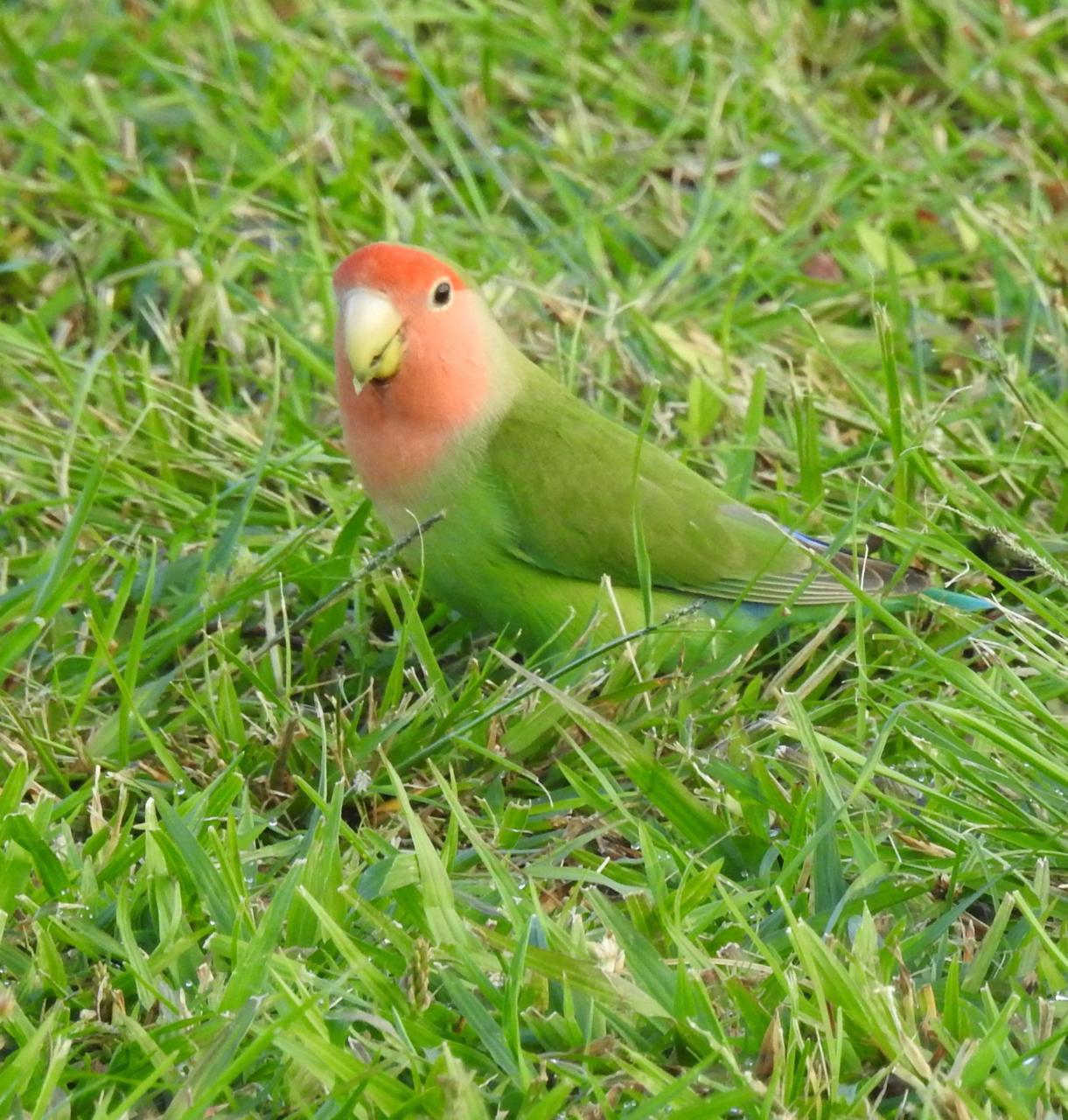 Rosy-faced Lovebird Photo by Brian Avent