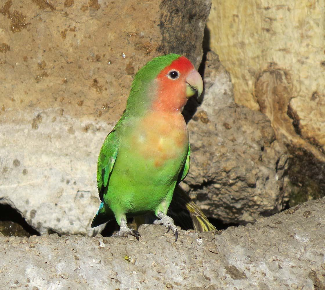 Rosy-faced Lovebird Photo by Peter Boesman