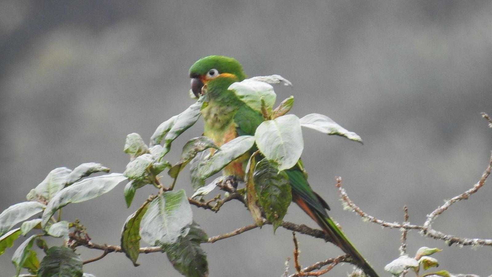 Golden-plumed Parakeet Photo by Julio Delgado