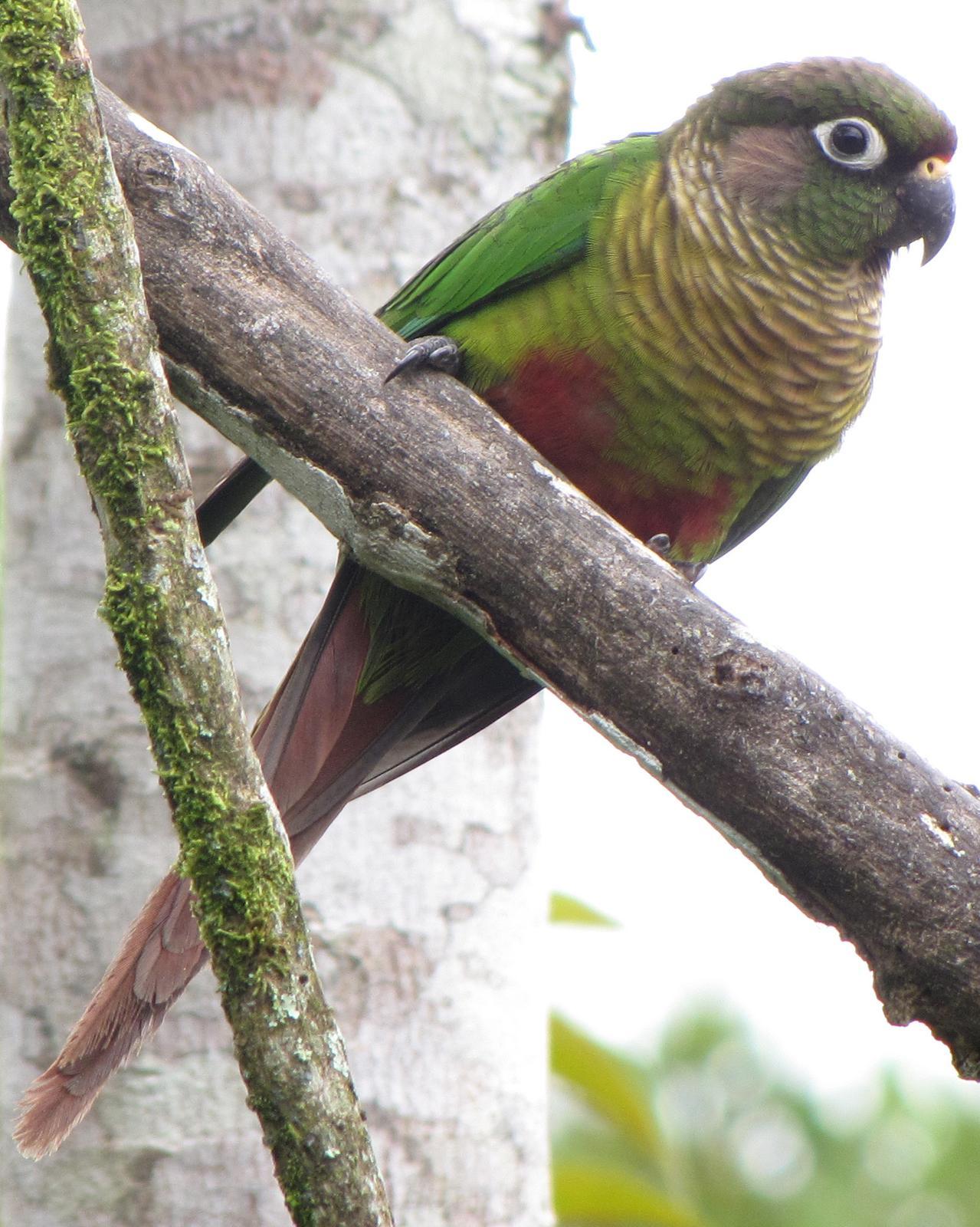 Maroon-bellied Parakeet Photo by Kent Fiala