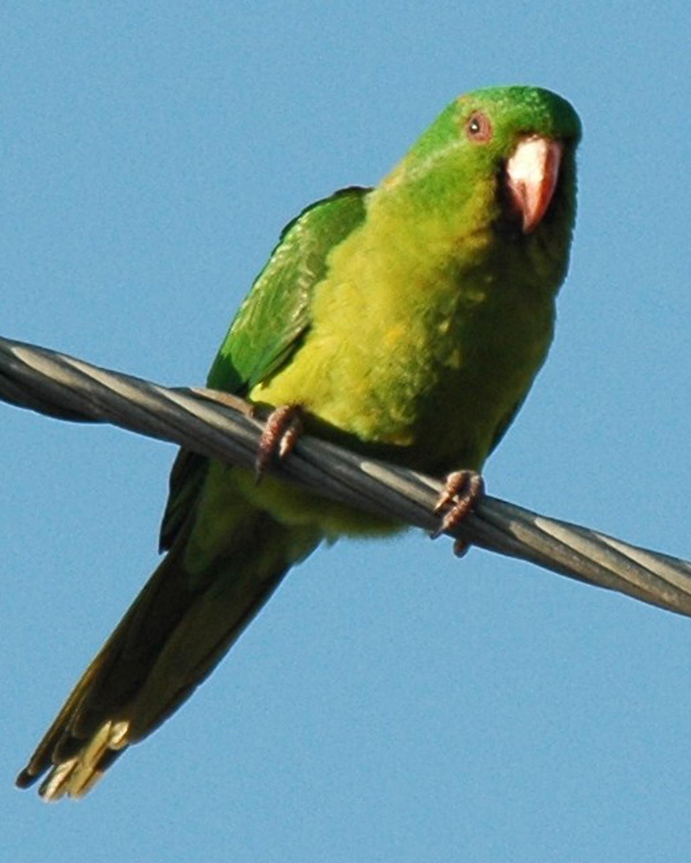 Green Parakeet Photo by Magill Weber
