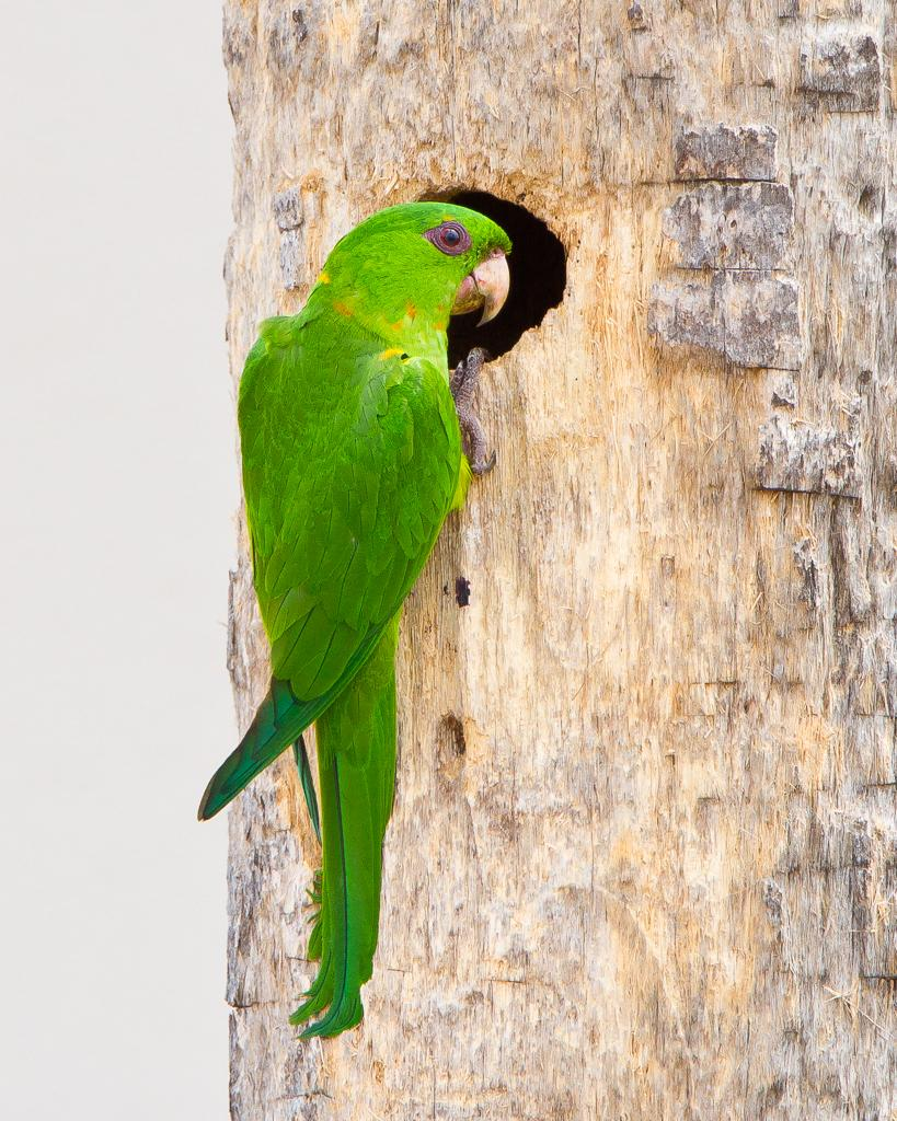 Green Parakeet Photo by Steve Zamek