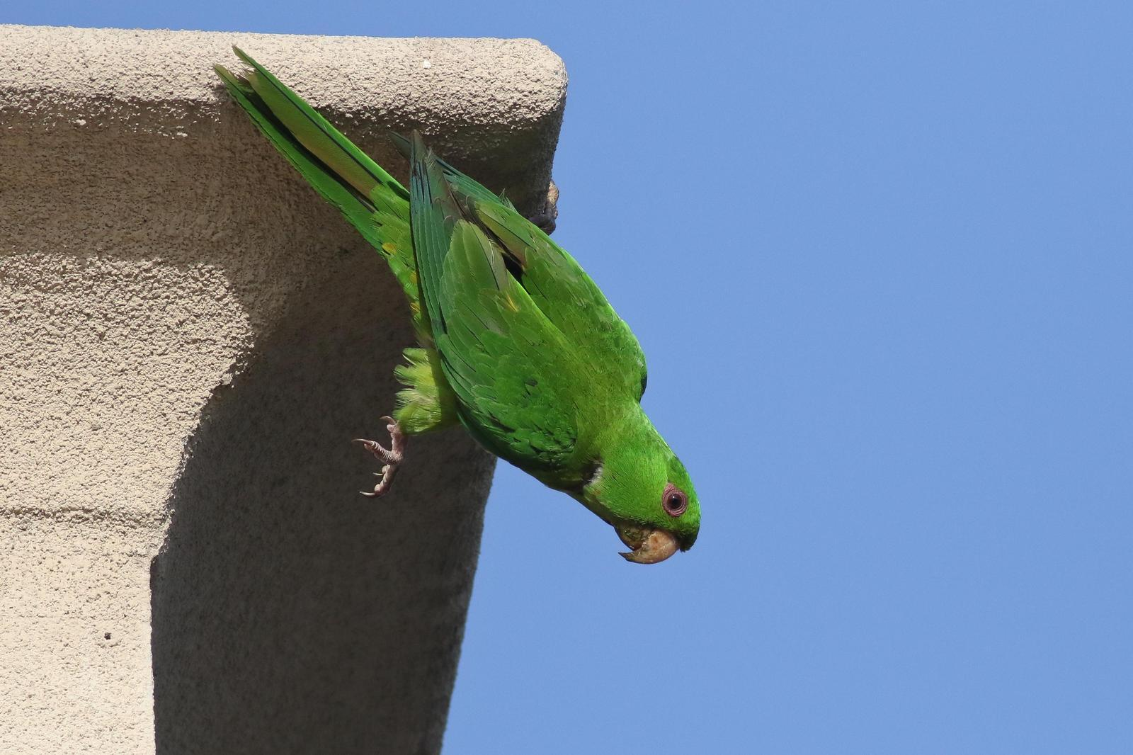 Green Parakeet Photo by Tom Ford-Hutchinson