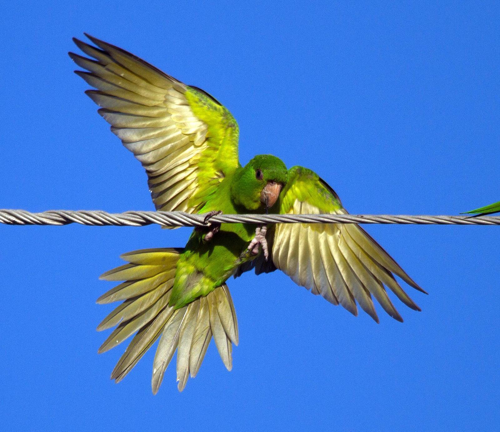 Green Parakeet Photo by Scott Berglund