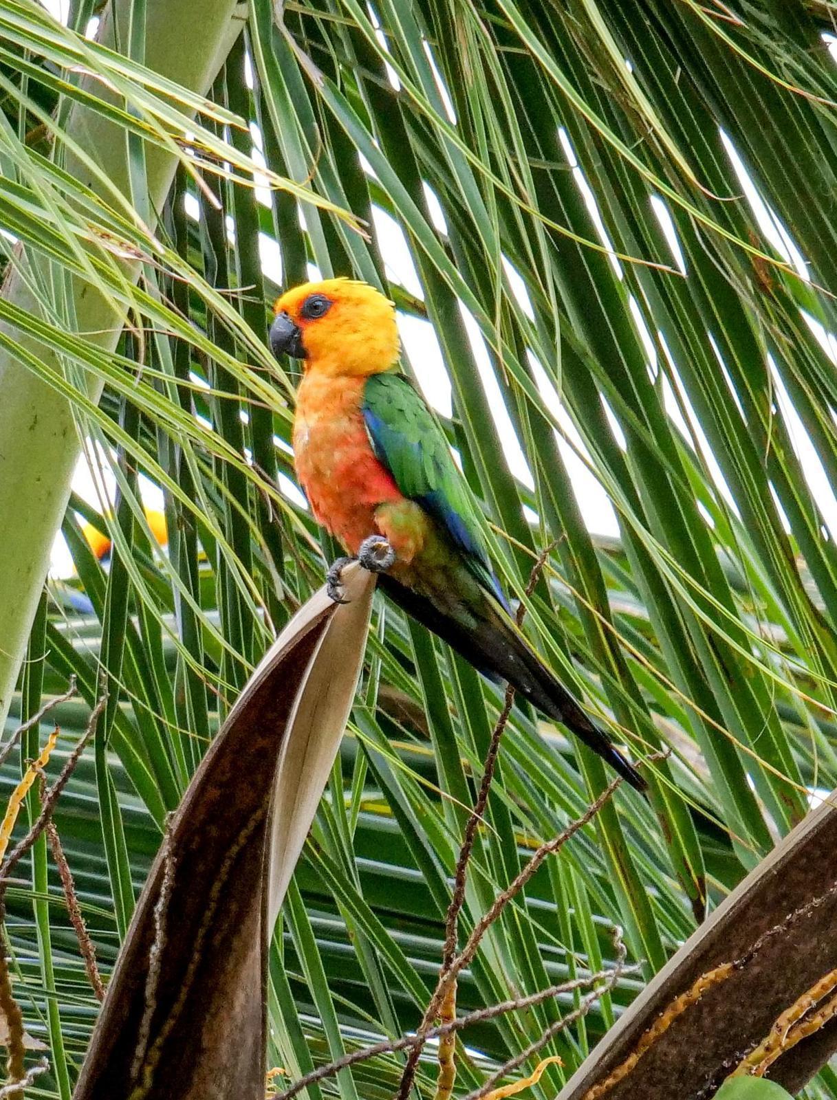 Jandaya Parakeet Photo by Roger Horn