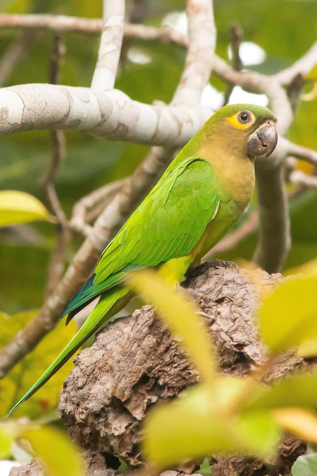 Brown-throated Parakeet Photo by Marie-France Rivard