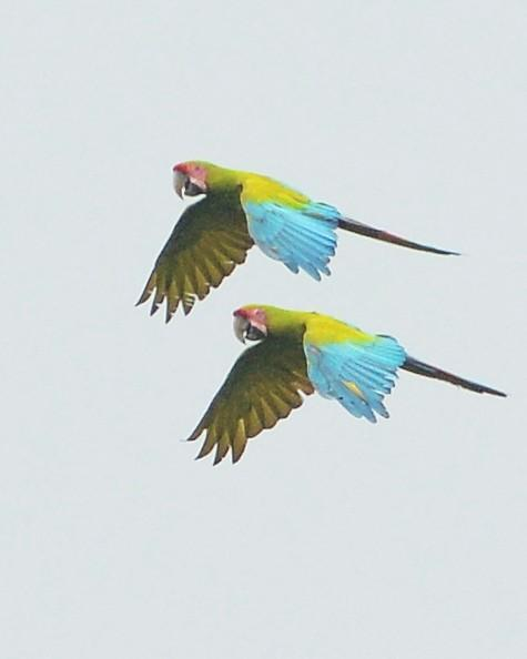 Great Green Macaw Photo by David Hollie