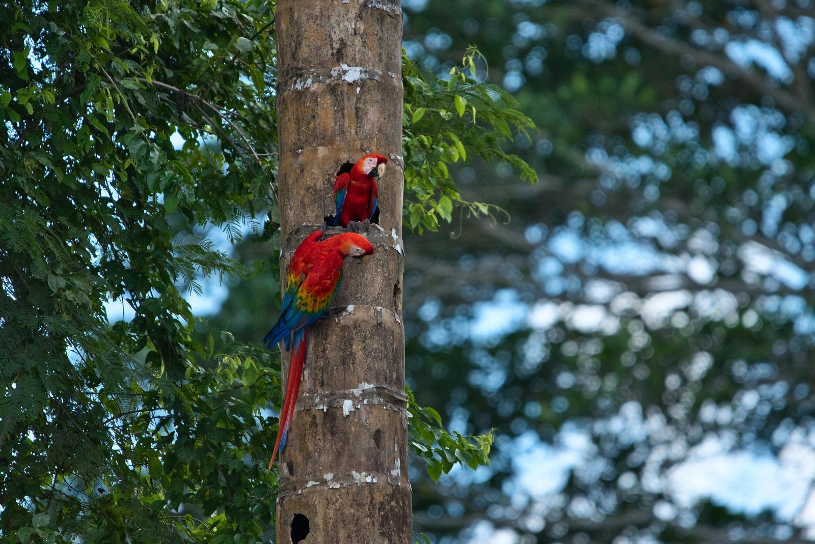 Red-and-green Macaw Photo by Didier Ryter