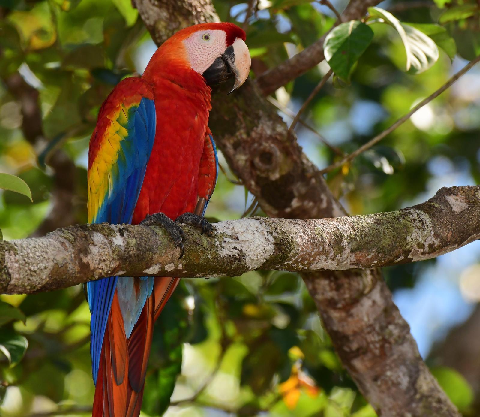 Scarlet Macaw Photo by Gareth Rasberry