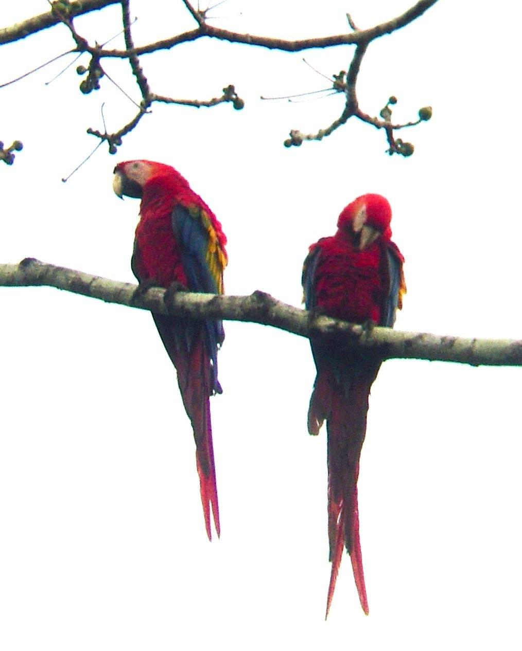 Scarlet Macaw Photo by Andrew T. Kinslow