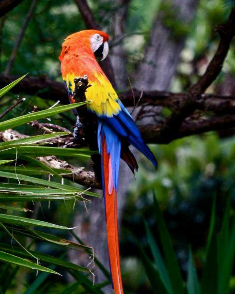 Scarlet Macaw Photo by Michael L. P. Retter