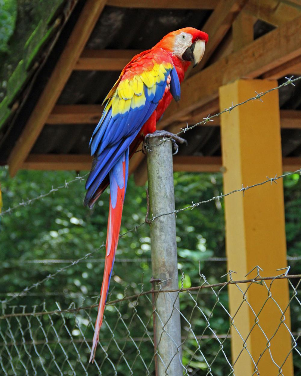 Scarlet Macaw Photo by Robert Polkinghorn